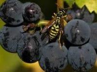 Как да предпазим гроздето от оси