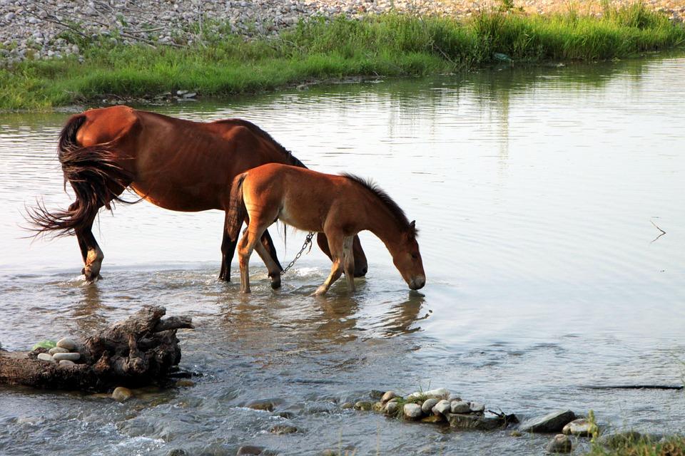Колко вода пият конете - интересни и любопитни факти за конете.