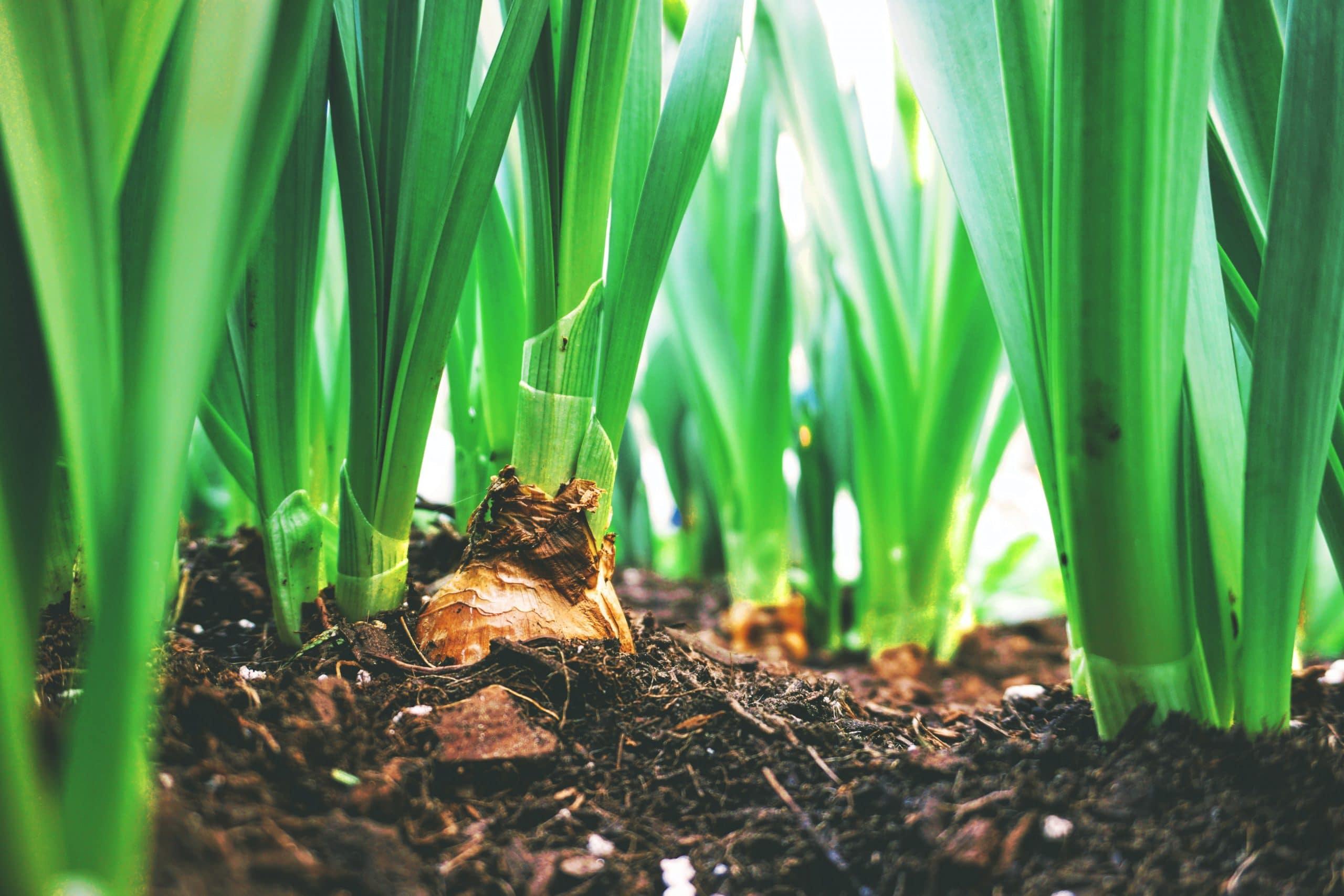 Как да засадим пролетни луковици в градината