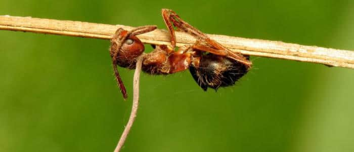 Зомби мравки
