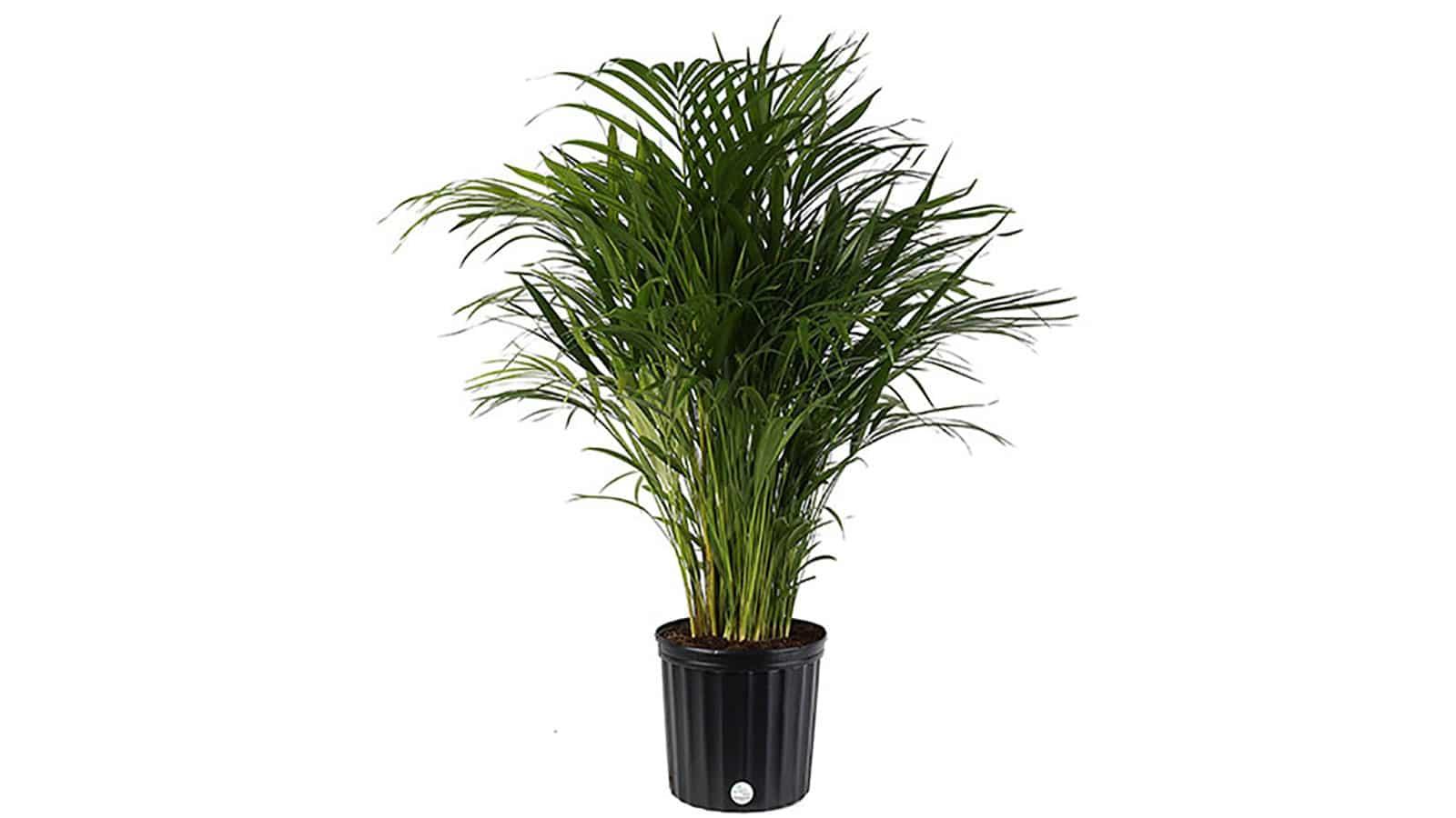 Арека палма (Хризалидокарпус) - Chrysalidocarpus Lutescens. Как да пречистим въздуха у дома със стайни растения?