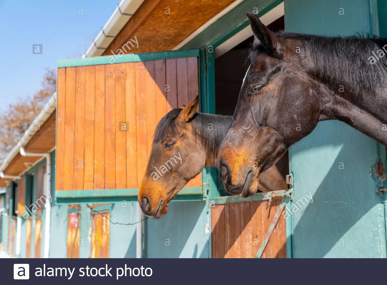 Конете спят прави - интересни и любопитни факти за конете.