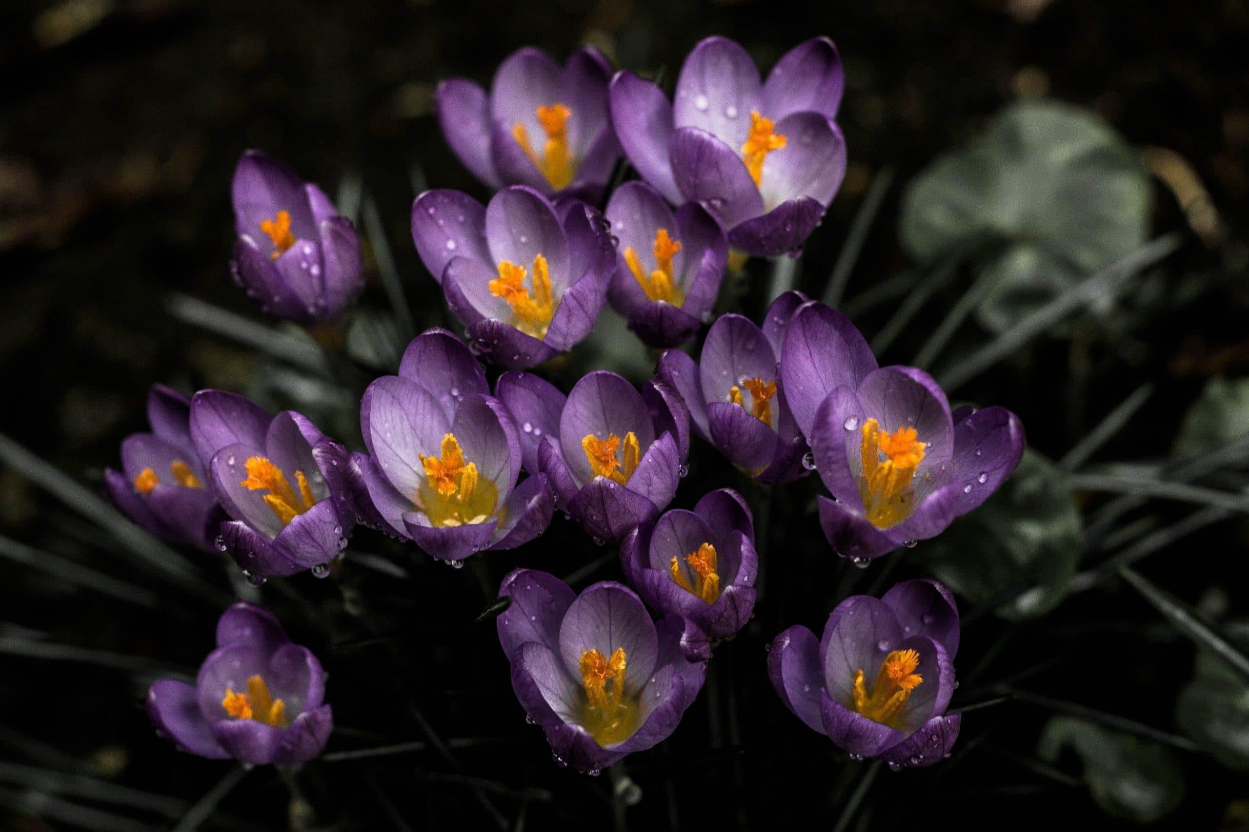 Минзухар - Как да засадим пролетни луковици за цветя