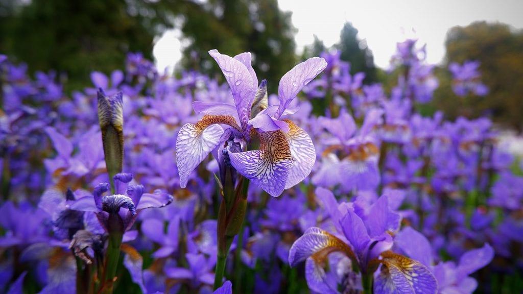 Ирис - много красиво градинско пролетно цвете