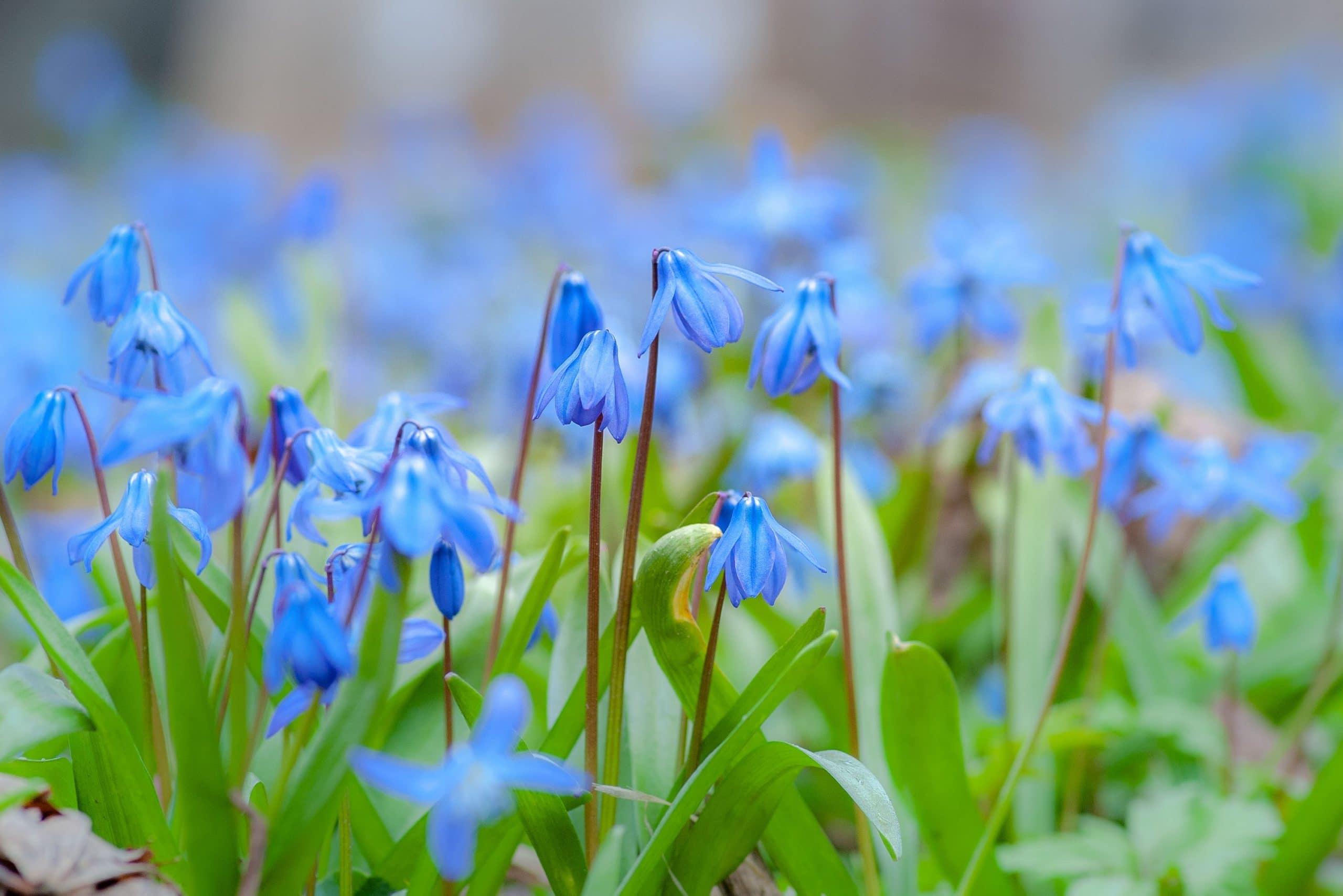 Синчец - прекрасно цвете за градината