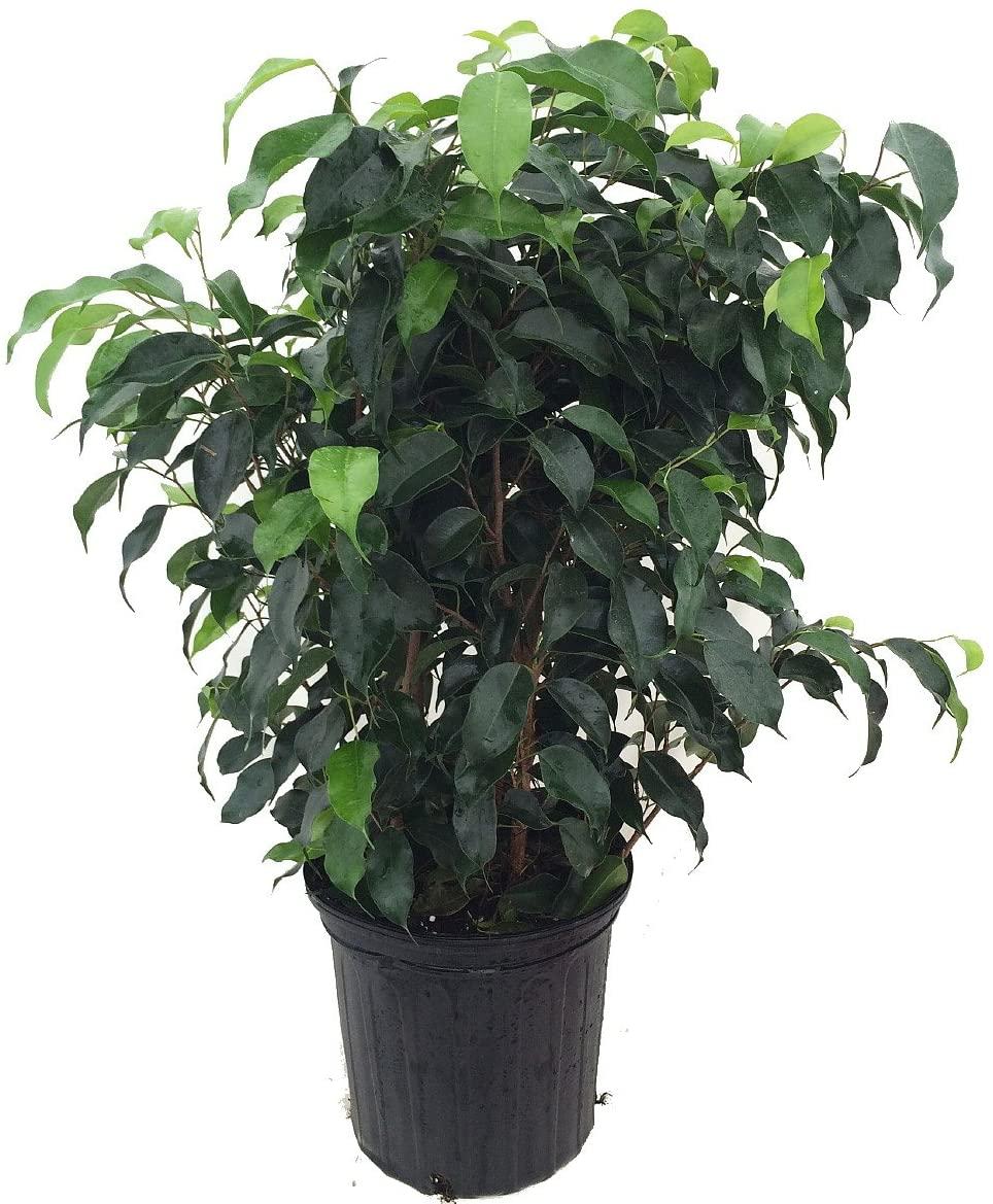 Фикус Бенджамин (Ficus Benjamina). Как да пречистим въздуха у дома?