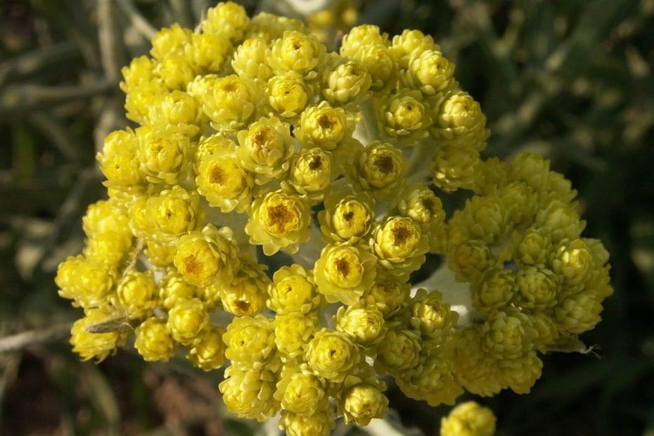 Билка безсмъртниче immortelle herb