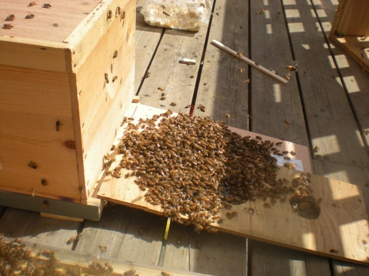 Стръскване на пчели пред прелката