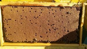 Пчелна пита със запечатано пило. Как да подсилим пчелните семейства?