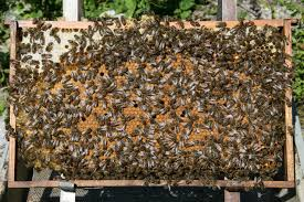 Рамка с пчели. Как да подсилим пчелните семейства?