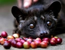 Животно цибет яде зърна кафе - най-скъпото кафе в света. Десет неща които не знаехте за кафето.