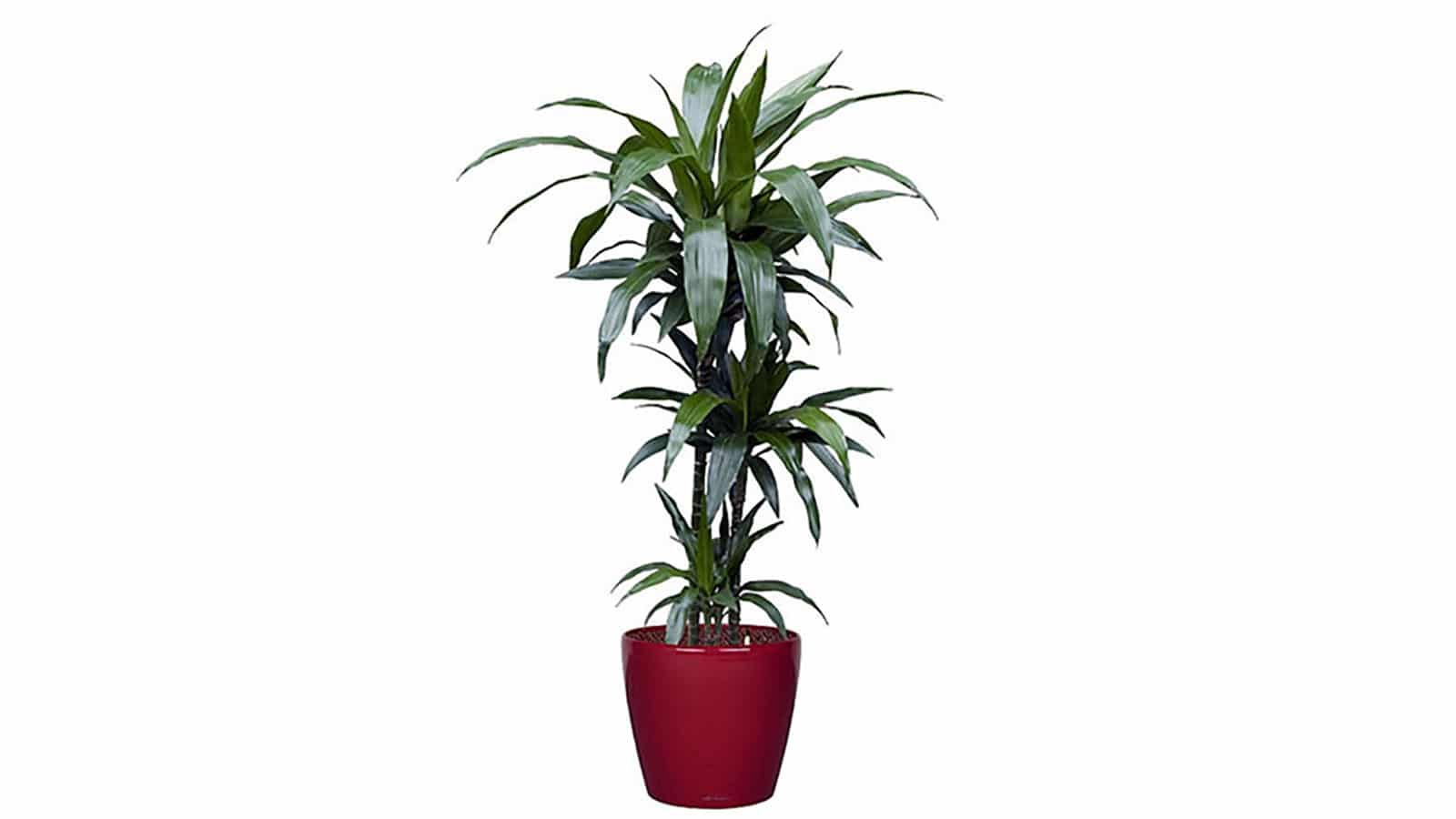 Драцена (Dracaena Deremensis). Как да пречистим въздуха у дома