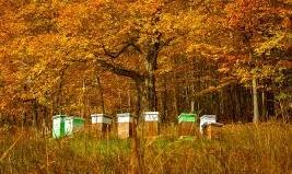 Как да се грижим за пчелите през Септември