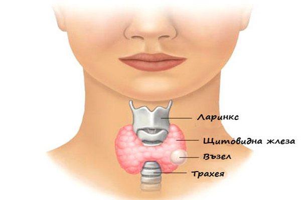 Къде се намира щитовидната жлеза