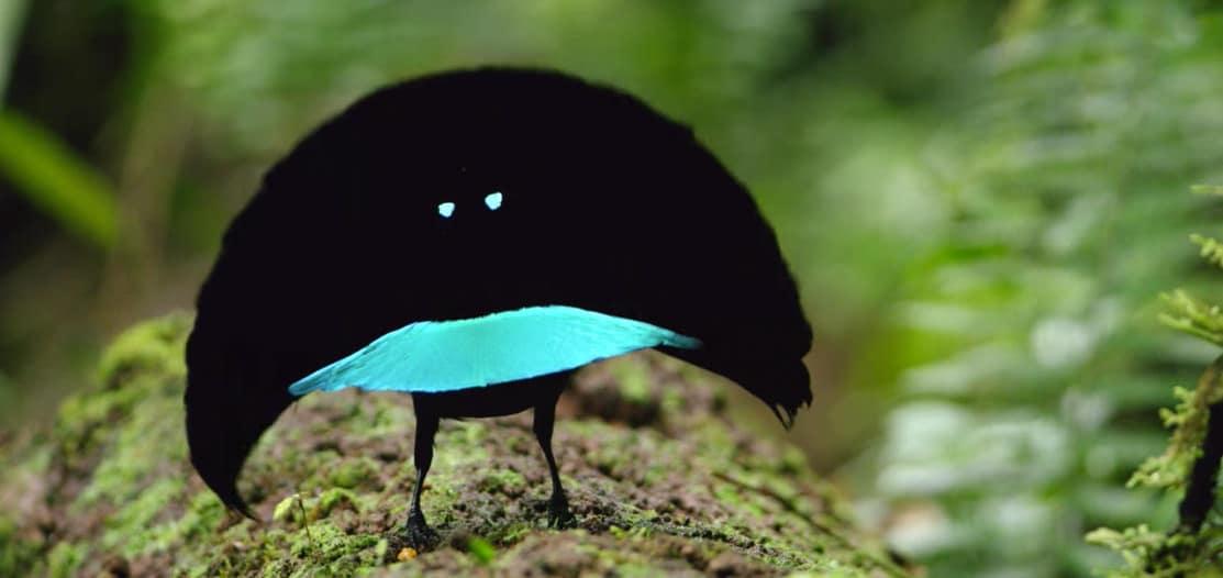 Синята райска птица