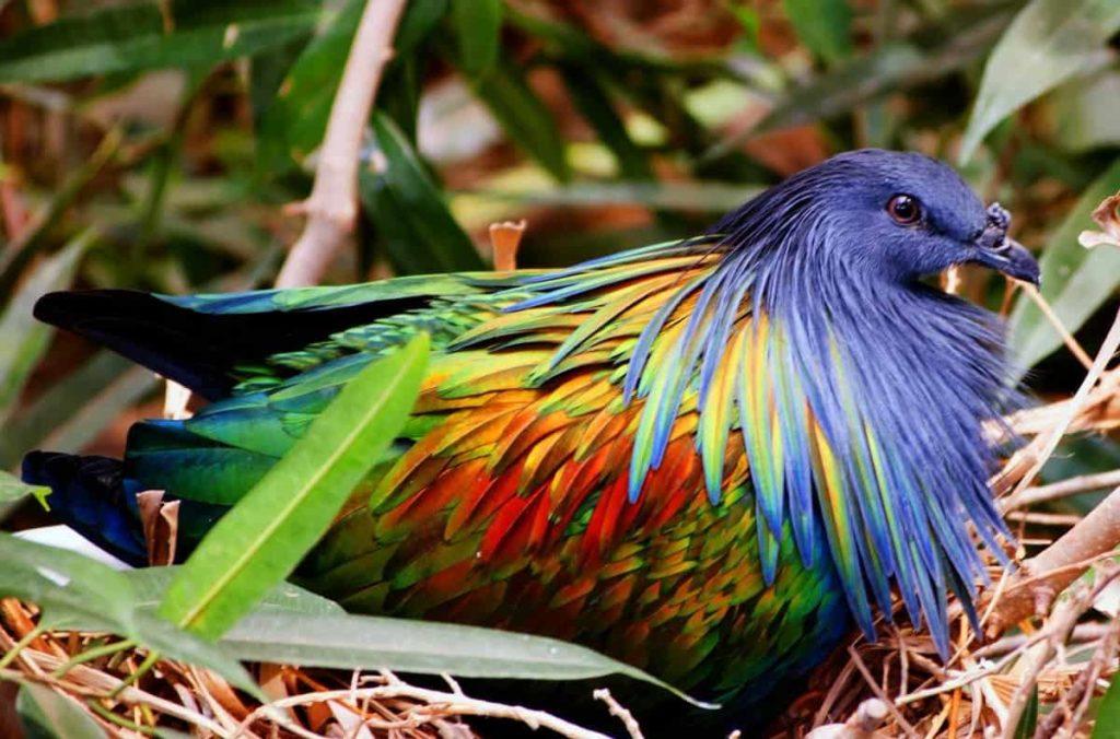 Никобарски гълъб - най-красивите птици на света.