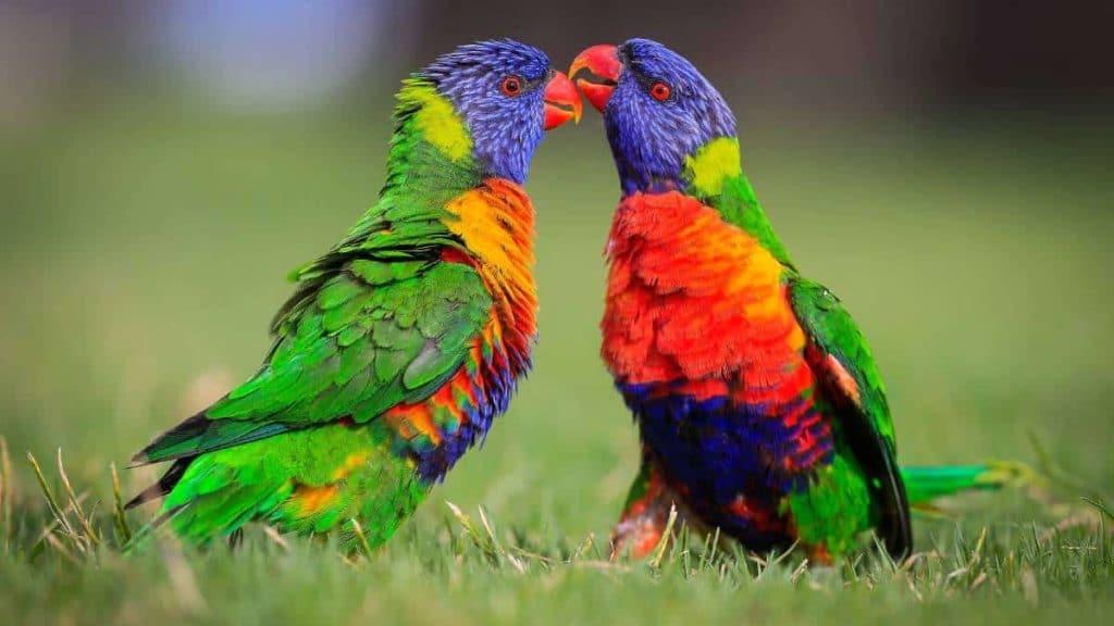 Австралийски лорикет папагал - най-красивите птици на света.