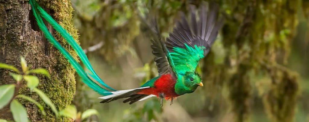 Блестящ кецал - най-красивите птици на света.