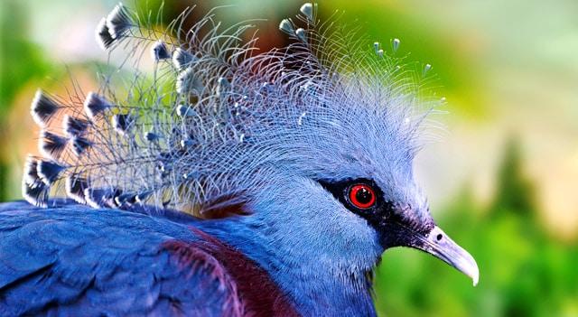 Коронован гълъб Виктория - най-красивите птици на света.