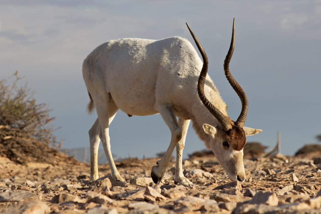 Антилопа Адакс - най-редките животни на света.