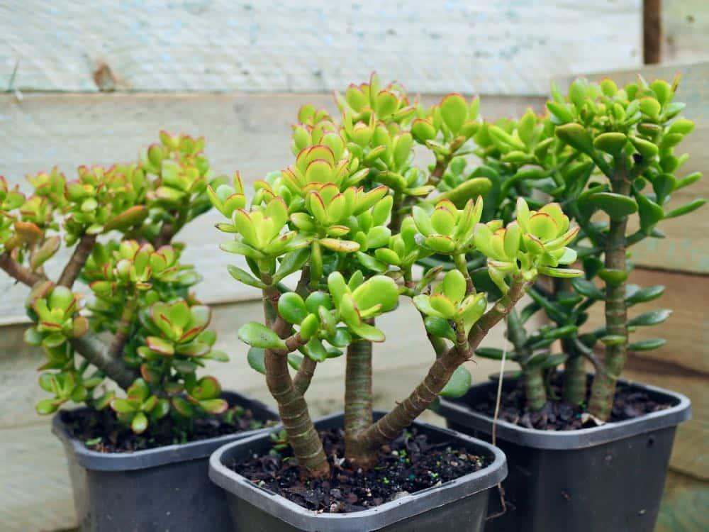 Нефрит - щастливо растение