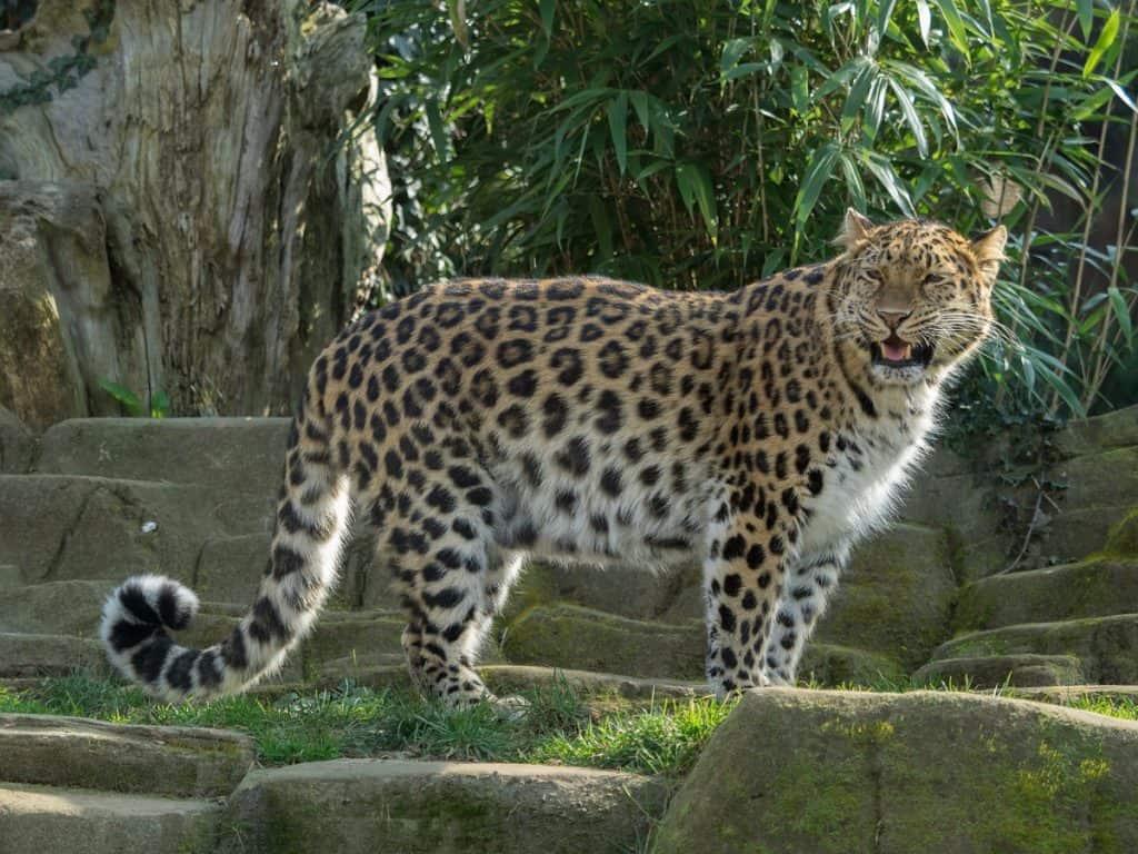 Амурски леопард - най-редките животни на света.