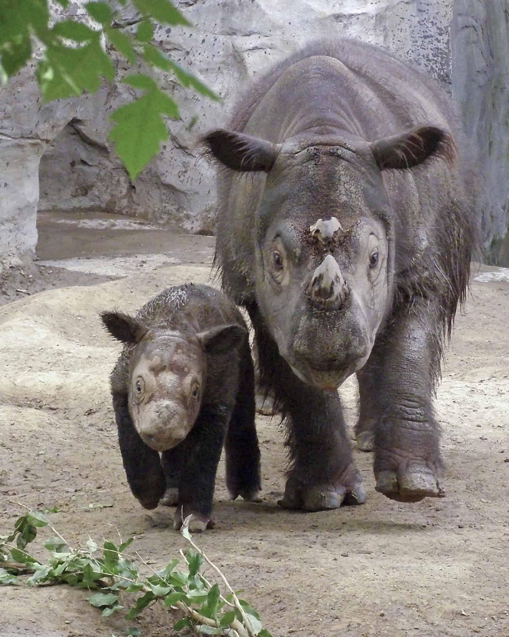 Суматрански носорог - най-редките животни на света.