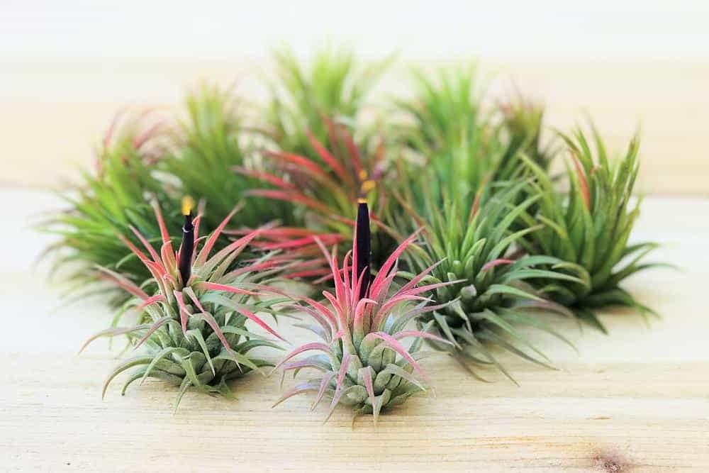 Тиландсия - превъзходното въздушно растение - как да направим мини градинa.