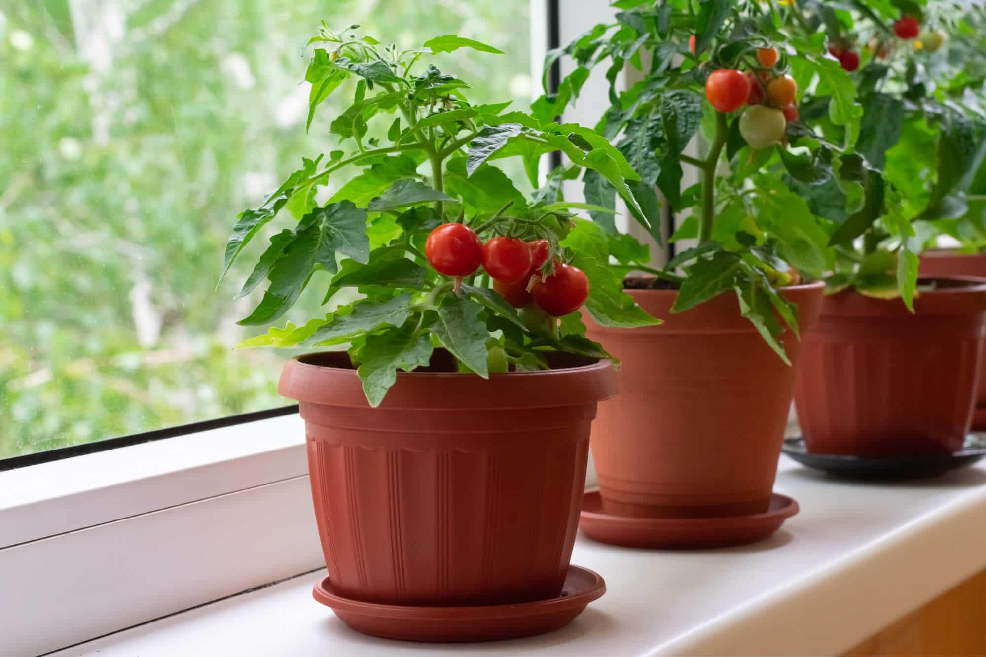 Как да отгледаме чери домати в саксия