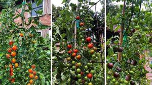 Как да отгледаме чери домати сами