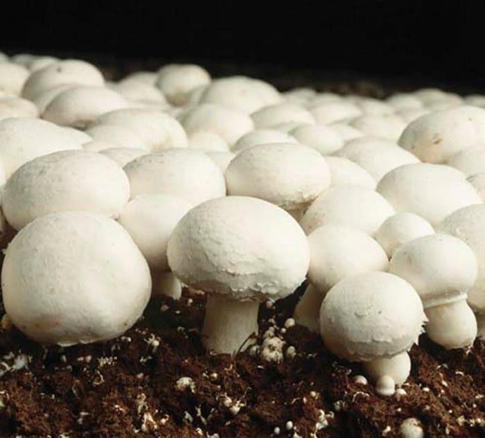 Как да отглеждаме гъби печурки в домашни условия