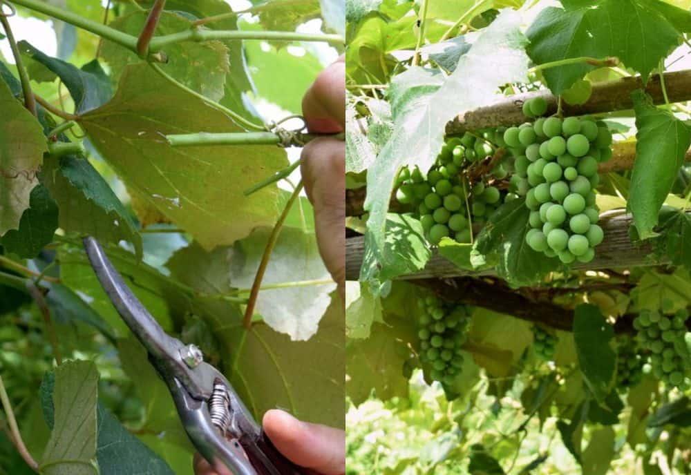 Как да се грижим за гроздето и лозята - как да засадим лоза