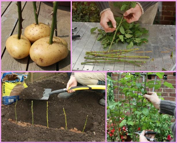Вкореняване на рози в картоф - как да вкореним и отгледаме рози