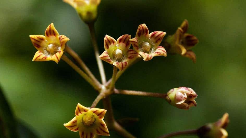 Нова билка от медицинско важно растително семейство - странни и прекрасни растения открити през 2020