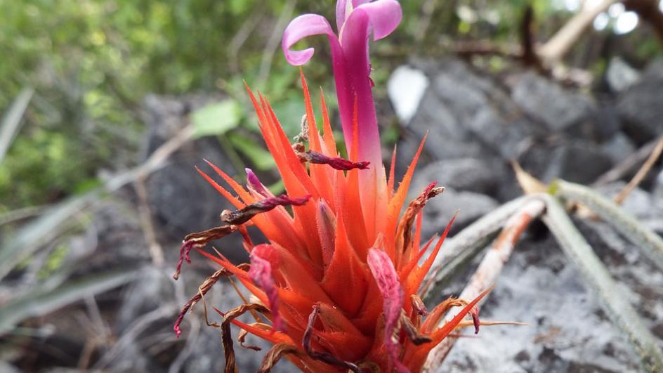 Красива бразилска бромелия - странни и прекрасни растения открити през 2020