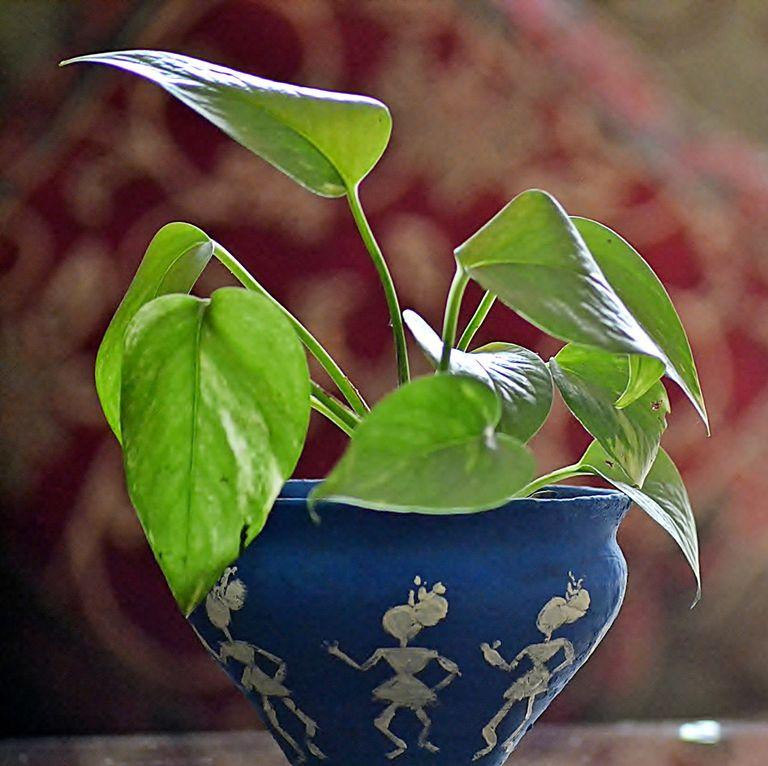 Дяволски бръшлян - най-добрите пречистващи въздуха растения