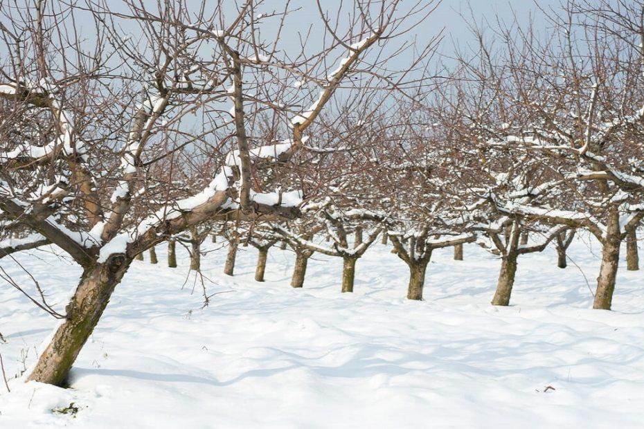 Как да се погрижим за овошките през зимата по най-добрия начин