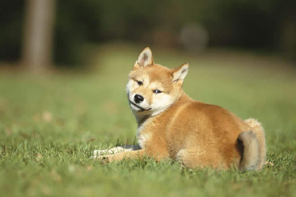 Шиба ину - най-красивите породи кучета в света