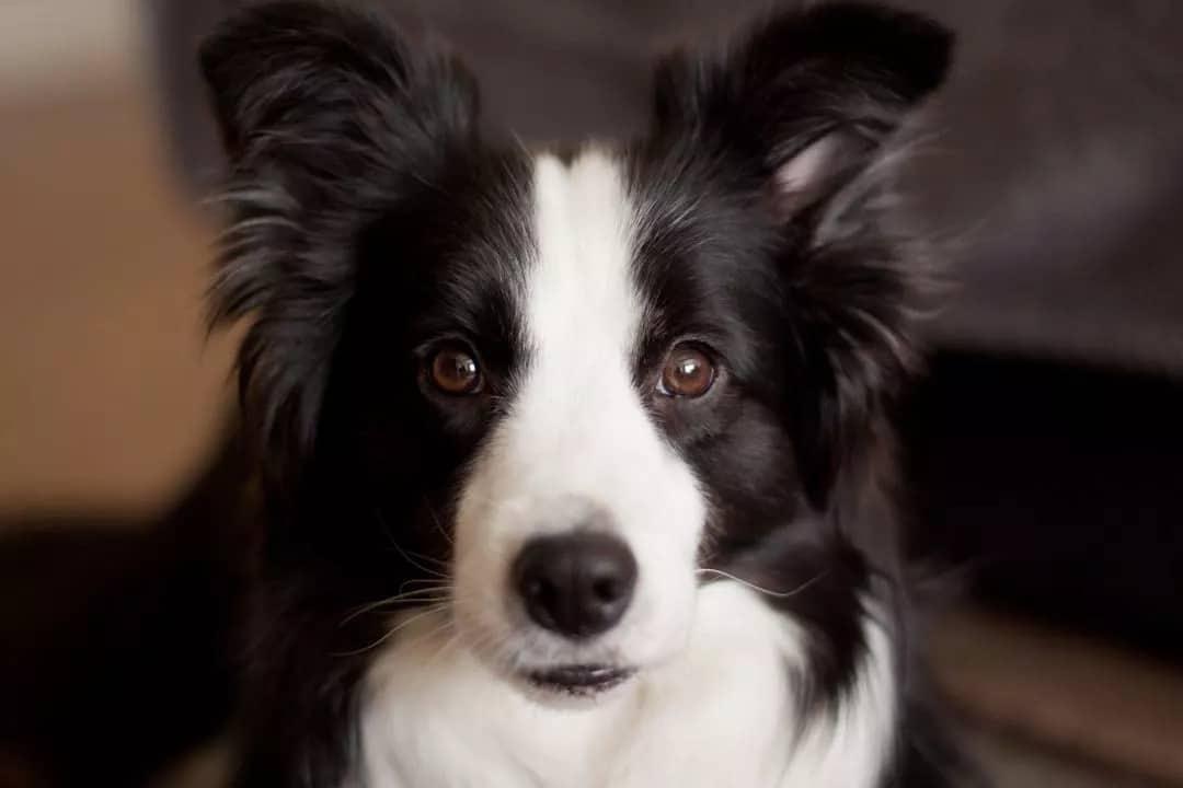 Бордър коли - най-красивите породи кучета в света