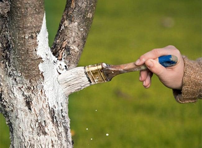 Варосване на овощните дръвчета