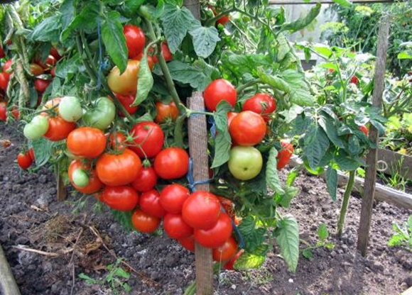 Прибиране на реколтата от узрели домати