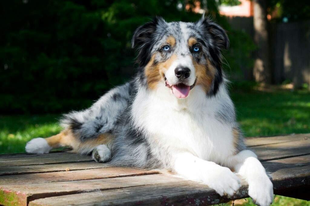 Австралийска овчарка - най-красивите породи кучета в света