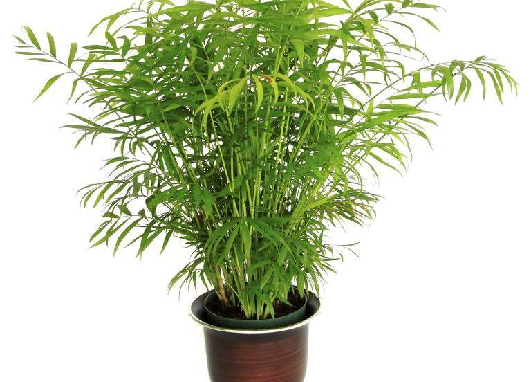 Бамбукова палма - най-добрите пречистващи въздуха растения