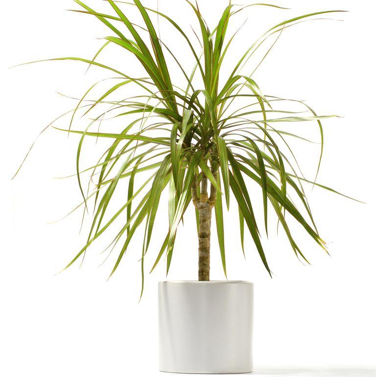 Драцена с червени ръбове - най-добрите пречистващи въздуха растения