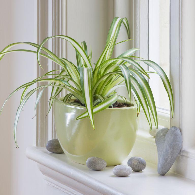 Хлорофитум (цвете паяк) - най-добрите пречистващи въздуха растения