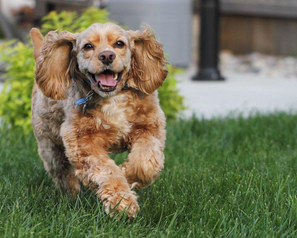 кокер шпаньол - най-красивите породи кучета в света