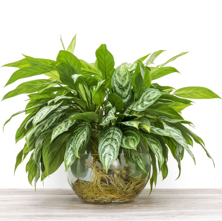 Chinese Evergreen - най-добрите пречистващи въздуха растения