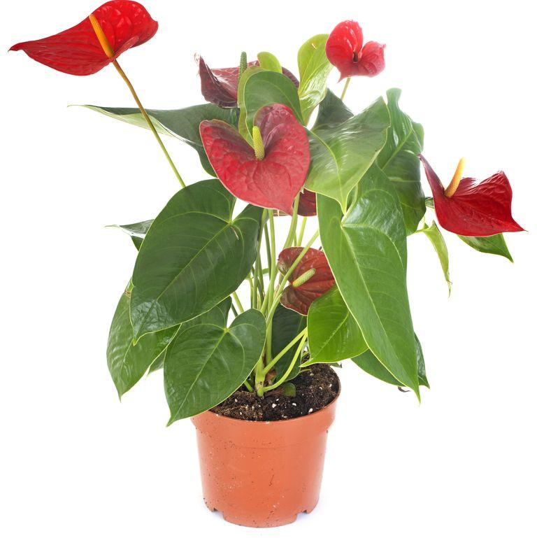 Антуриум (Flamingo Lily) - най-добрите пречистващи въздуха растения