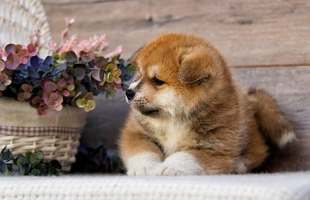 сладко куче: Акита - Най-сладките породи кучета като палета