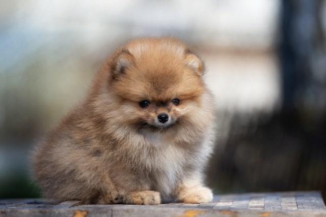 сладко куче: Померан - Най-сладките породи кучета като палета